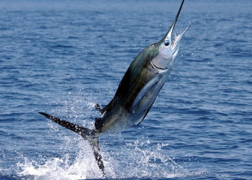 billfish fishing los suenos costa rica