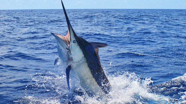 blue marlin fishing los suenos costa rica