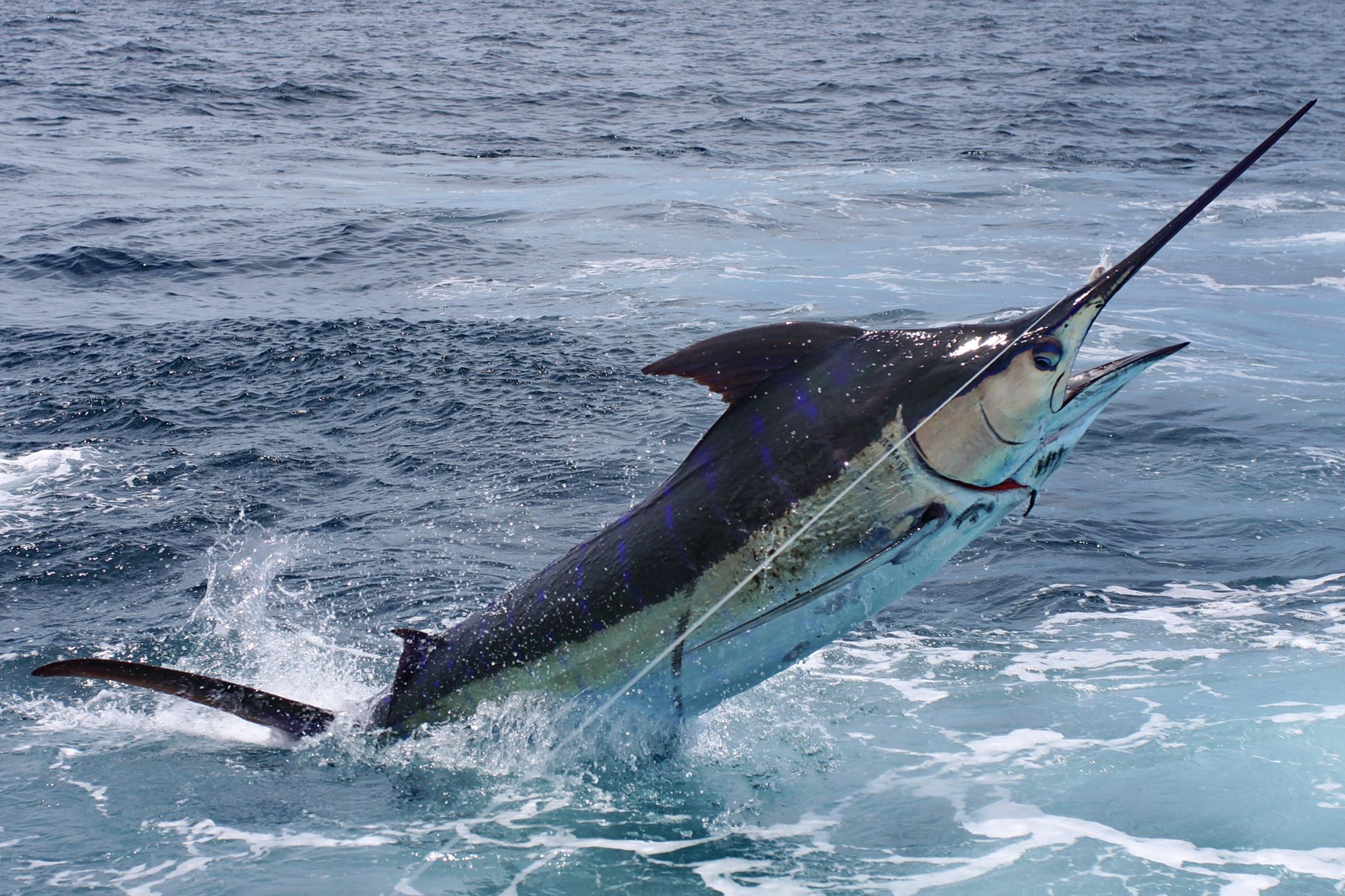 black marlin fishing los suenos costa rica