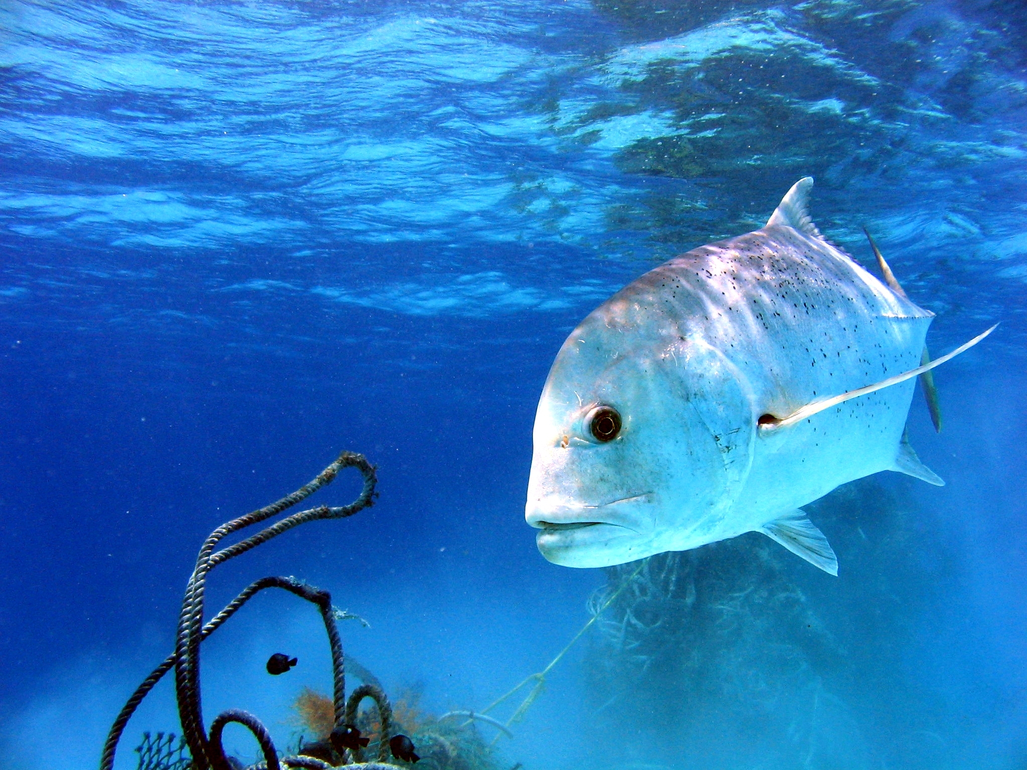 horse eye trevally los suenos costa rica fishing