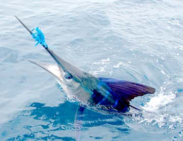 striped marlin fishing los suenos costa rica