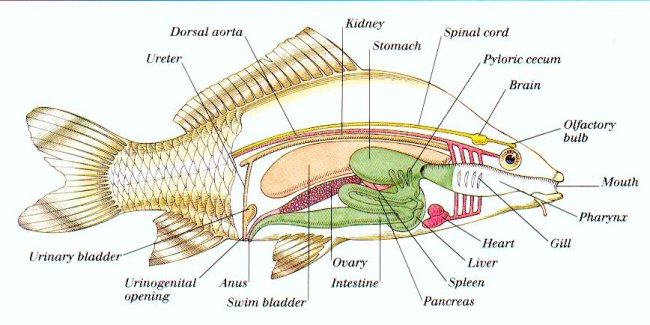 los suenos fish anatomy
